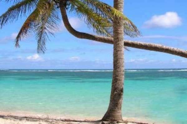 Palmier en Guadeloupe