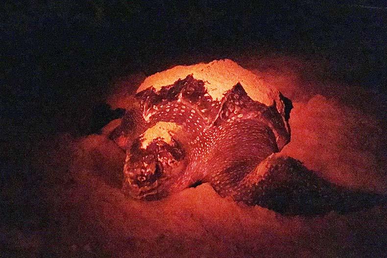 Les tortues en Guyane