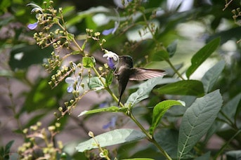Oiseau qui vole dans la forêt tropicale de Martinique